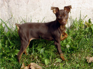 Miniature Pinscher Pup